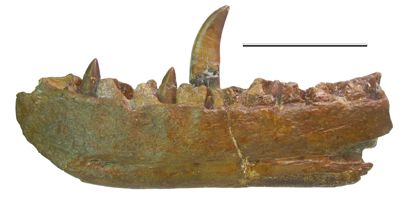 The lectotype dentary of Megalosaurus bucklandii. (Medial). Image copyright Oxford University Museum of Natural History (OUMNH).